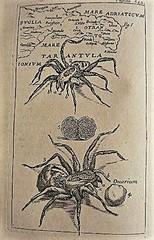 tarantula%20baglivi.jpg